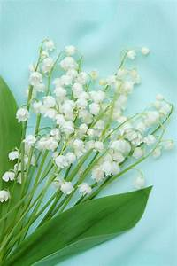 Bunch Of Lily Of The Valley On Green