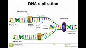 How Nucleotides Are Added In Dna Replication