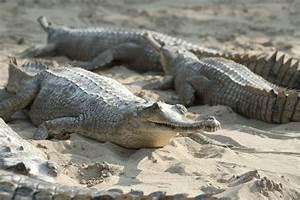 Alligator Vs. Crocodile: Here's a Detailed Comparison With ...