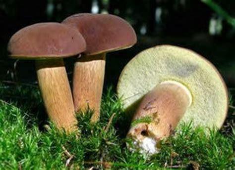 cuisiner les cepes bolets et cepes champignons