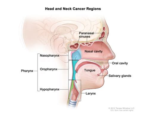 Nasal Floor by Head And Neck Cancers National Cancer Institute