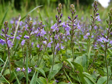 picture of flowering plant veronica officinalis heath speedwell world of flowering plants