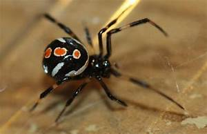 2 Answers - How poisonous can a black spider with orange ...