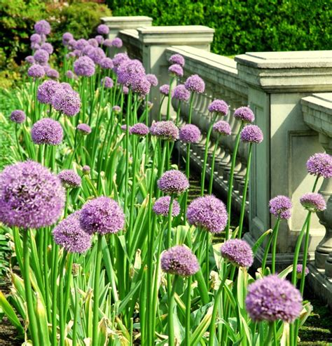 3 purple allium bulbs for fall planting grower