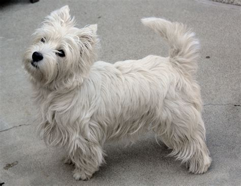 Dogs That Shed Little Hair by West Highland White Terrier Psy I Koty