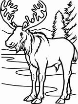 Moose Coloring Pages Christmas Forest Deciduous Temperate Animals Winter Wild Printable Amy Lake Getcolorings Cottage Summer Host sketch template