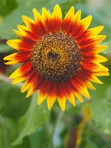 How to Plant Sunflowers in Decorative Pots | HGTV