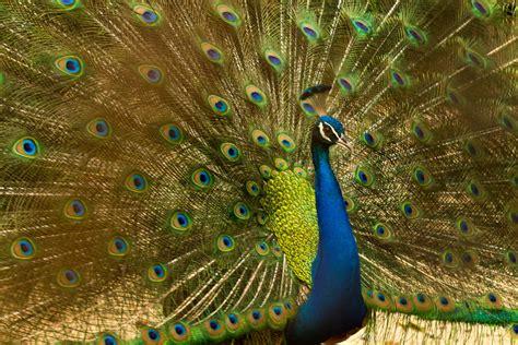 blue peacock  stock photo