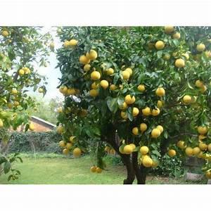 Lemon Plants At Rs 40   Piece