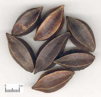 fructus quisqualis tcm herbs tcm wiki