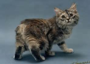 half bobcat half domestic cat i think my cat is half bobcat maybe a quarter page 1