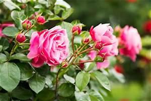 Rosenbeet Mit Stauden : rosenbeet anlegen mit rosen stauden und bodendeckern ~ Frokenaadalensverden.com Haus und Dekorationen