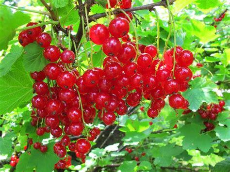 Ribes rosso - fitoterapia - Usi del ribes rosso