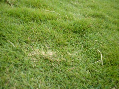 Carpet Grass Seeds In Kenya