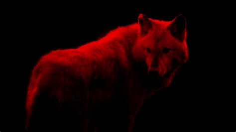 Alpha Wolf Blood Moon Wolf Wallpaper by Blood Wolf Abstract Stock Footage Storyblocks