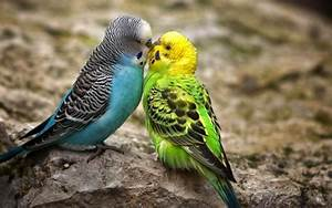 Wallpaper Backgrounds Desktop HD | Beautiful Kissing Birds ...