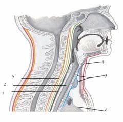 Pictures- Neck- Anatomy- Cummulative Flashcards | Quizlet
