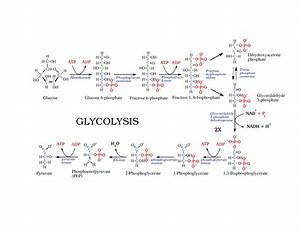 Glycogenesis - compare gluconeogenesis with glycogenesis?