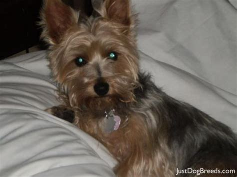 haircuts for yorkie puppies best 25 silky terrier ideas on noah yorke 3644