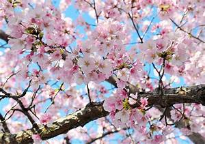 Cherry Blossoms Could Be Seriously Damaged By Upcoming