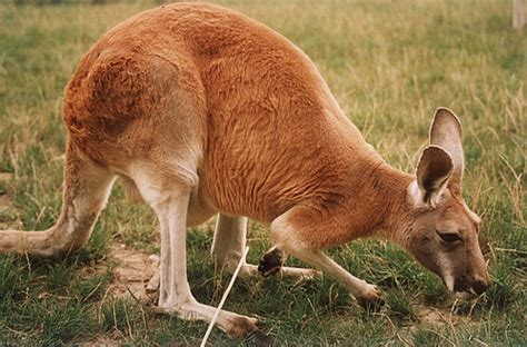 Red kangaroo Wikipedia