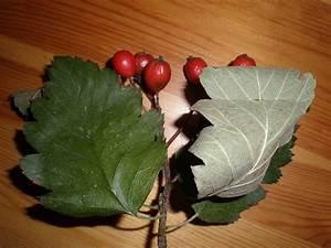Laubbaum Mit Roten Blättern : suche baum mit roten fr chten sorbus x intermedia ~ Frokenaadalensverden.com Haus und Dekorationen