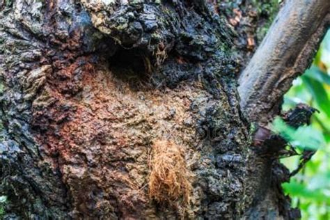 baum loch im stamm fliegende eichh 246 rnchen nest vom baum stamm loch