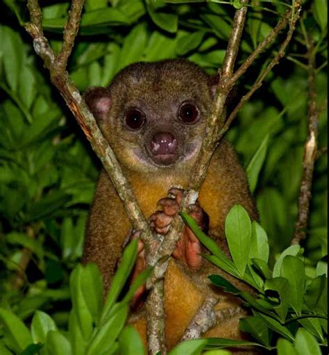 kinkajou belize animals caribbean critters