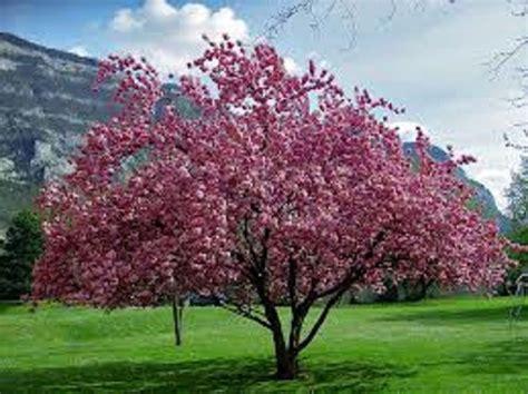 flowering japanese cherry prunus serrulata japanese flowering cherry 35 seeds bonsai ornamental sakura ebay