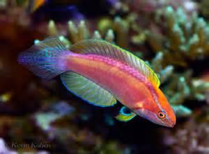 Fairy Wrasse Fish