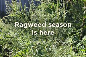 Ragweed Woes: How to Win Against One of Pollen's Worst