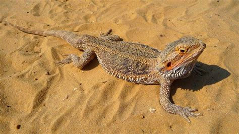 Only here you can find out any picture of bearded dragon in any size you like. Bearded Dragon phone, desktop wallpapers, pictures, photos, bckground images