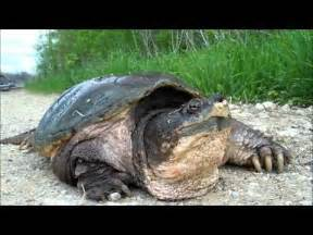 Largest Alligator Snapping Turtle Ever Caught