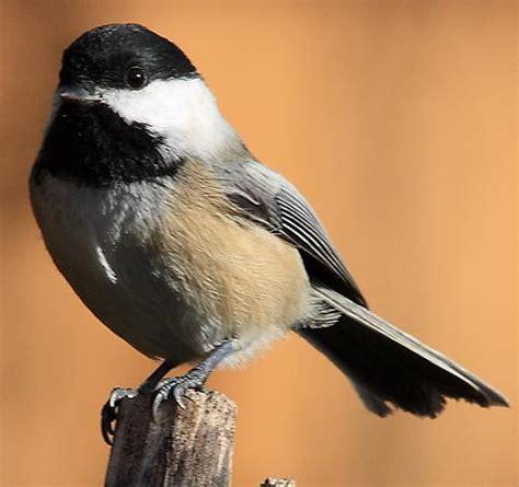 All About Chickadee Birds