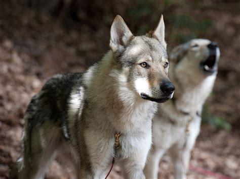 Czechoslovakian Wolf Dogs Tschechoslowakischer Wolfshund Flickr P O Sharing