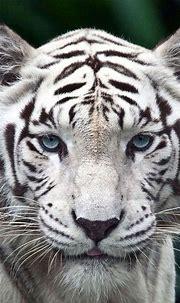 White blue eyed tiger   Cuddly animals, Animals beautiful ...