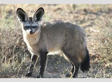 BatEared Fox Facts, History, Useful Information and