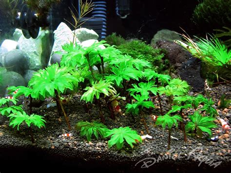 aquarium plants central aquarium plant central aquatic gardens 2017 fish tank maintenance