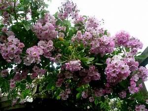 Rosier Grimpant Remontant : rosier 39 evangeline 39 ~ Melissatoandfro.com Idées de Décoration
