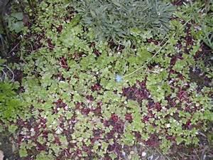 Couvre Sol Vivace : plantes vivaces couvre sol soleil images ~ Premium-room.com Idées de Décoration