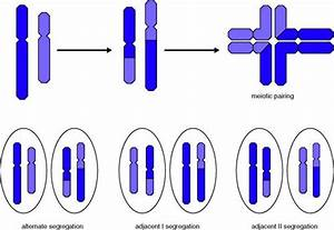 Nonhomologous Chromosomes | www.pixshark.com - Images ...