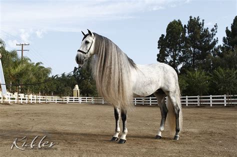 andalusian horse stallion horses arena indoor kidder obelisco kevin mac stables