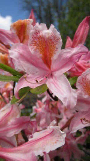 growing conditions for rhododendron rhododendron occidentale sevenoaks native nursery