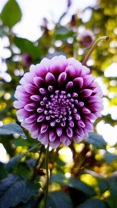 Dahlia Flower Purple Bloom Edge Galaxy Samsung