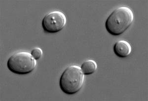 Special Bakers Yeast shows potential to reduce acrylamide ...