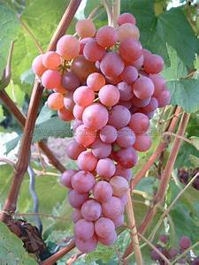 Suffolk red - seedless - buy grapevines for your garden ...