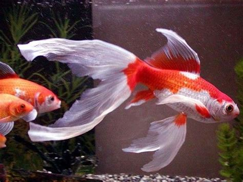 Beautiful Fish Goldfish