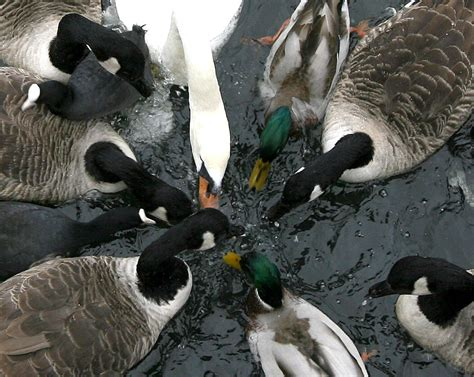 is bread bad for ducks duck danger why feeding ducks bread is bad for their health