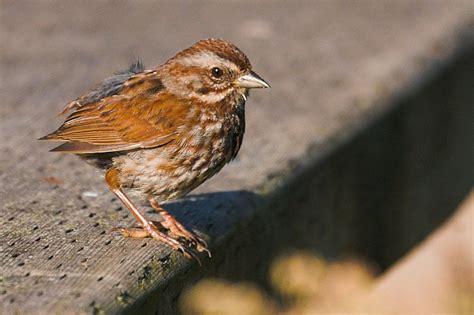 little brown bird song sparrow photo simon chandler