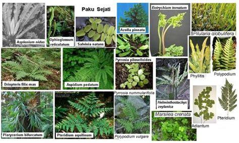 tumbuhan paku pteridophyta bio green